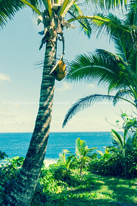 Coconut palm trees in tropical Niue vertical composition with yellow coconuts.
