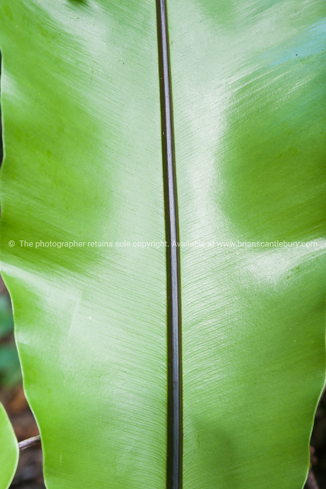 Glossy frond of luka plant, fern in Niue