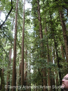 second and third growth redwoods