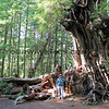 2017-09-15_1461_Kalaloch_Big Cedar Tree_Washington.JPG