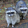 2017-09-24_1889_Raccoons_Point Defiance Park_Tacoma_WA.JPG<br /> <br /> Hoards of raccoons would run up to every car that passed through Point Defiance Park, shamelessly begging!