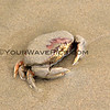 2017-09-12_1344_Yachats Crab.JPG<br /> <br /> These large crabs are all over the beaches of Yachats.  After taking photos of this guy, a little bit later it appeared that a group of seagulls was feasting on him.  The Circle of Life...