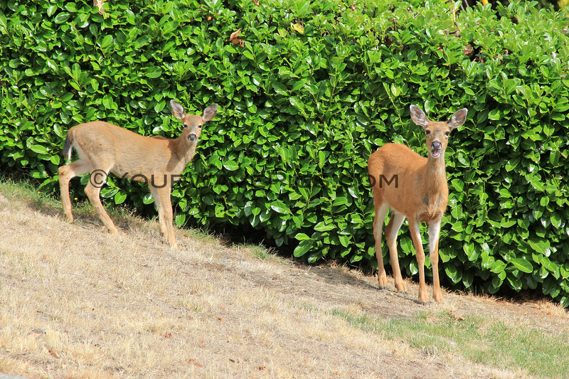 2017-09-18_1571_Deer_Nanaimo_Vancouver Island.JPG<br /> <br /> Elly and Tony have deer in their front yard most days