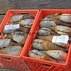 2017-09-20_1650_Geoduck Clams_Tofino_Vancouver Island.JPG<br /> <br /> Divers bring up these huge clams and sell them for big prices