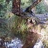 Old tree and water