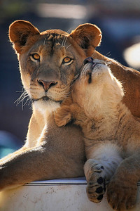 Lioness and cub at San Diego Wild Animal Park