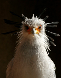 Secretary Bird, San Diego Zoo