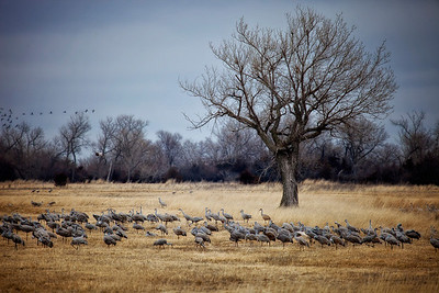 Sandhill cranes in central Nebraska