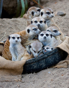 Tub o' Meerkats at the San Diego Zoo