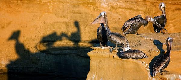 Pelicans along San Diego shoreline