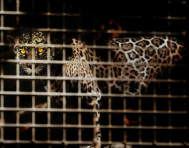 Caged Jaguar!
