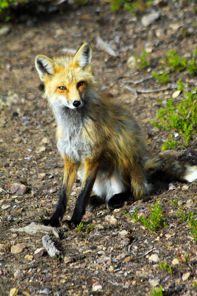 Fantastic Fox - Colorado