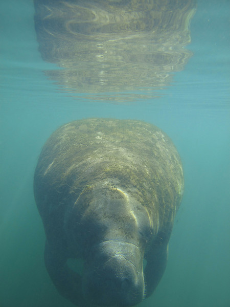 Manatee Kiss - Florida
