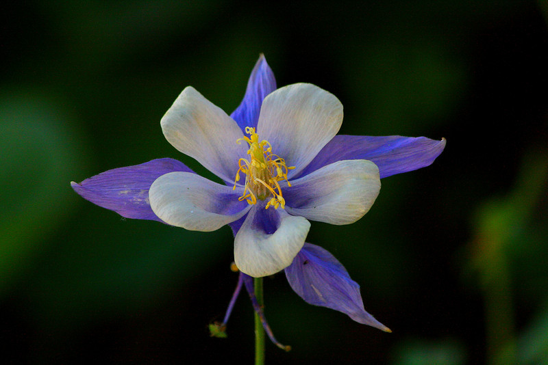Colorado Columbine - Colorado