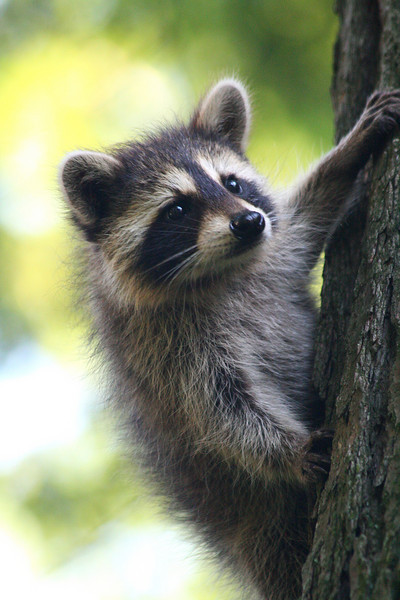 Raccoon - Wisconsin