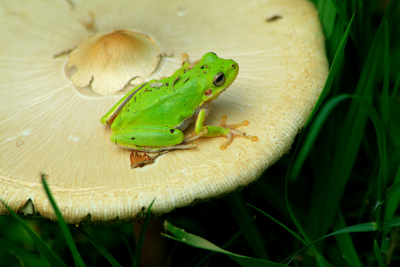 Tree Frog on Toadstool - Florida