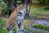 Jaguar, Cancun, Mexico