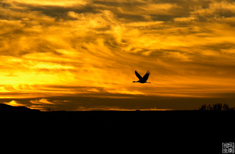 sandhill crane takes off in morning light, flight deck