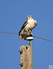 red-tail hawk, between brownsfield and post, tx