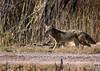 coyote, on farm loop