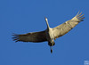 wingspan could reach 8 feet, crane pool
