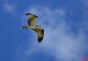 Red-shoulder hawk, flamingo center, Everglades