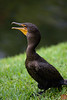 double-crested cormorant in Shark Valley center, Everglades