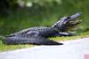 Gator in Shark Valley center, Everglades