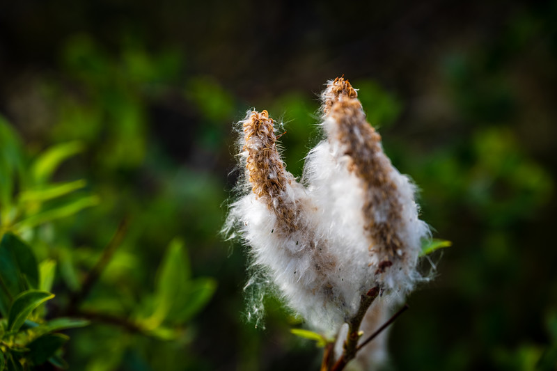 Willow Seeds