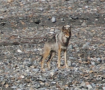 Gray Wolf. Denali, AK photo by: Julie O'Neil