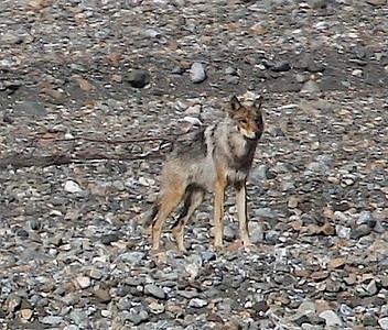 Gray Wolf. Denali, AK photo by: Julie O'Neil
