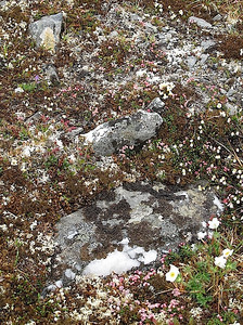 Tundra rocks and wildflowers. Nome, AK. photo by: Julie O'Neil