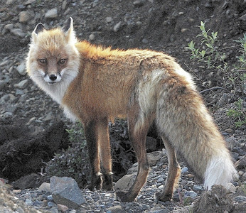 Red Fox. Denali, AK photo by: Julie O'Neil