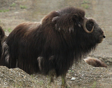 Musk Ox photo by Julie O'Neil