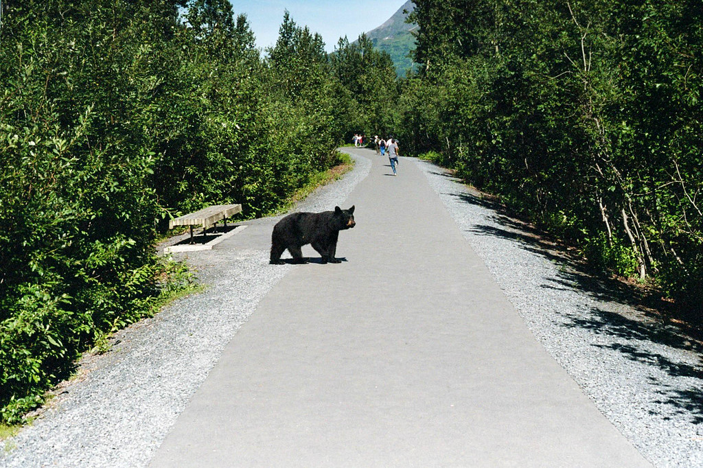 Day 1: Black bear on the trail at Exit Glacier.