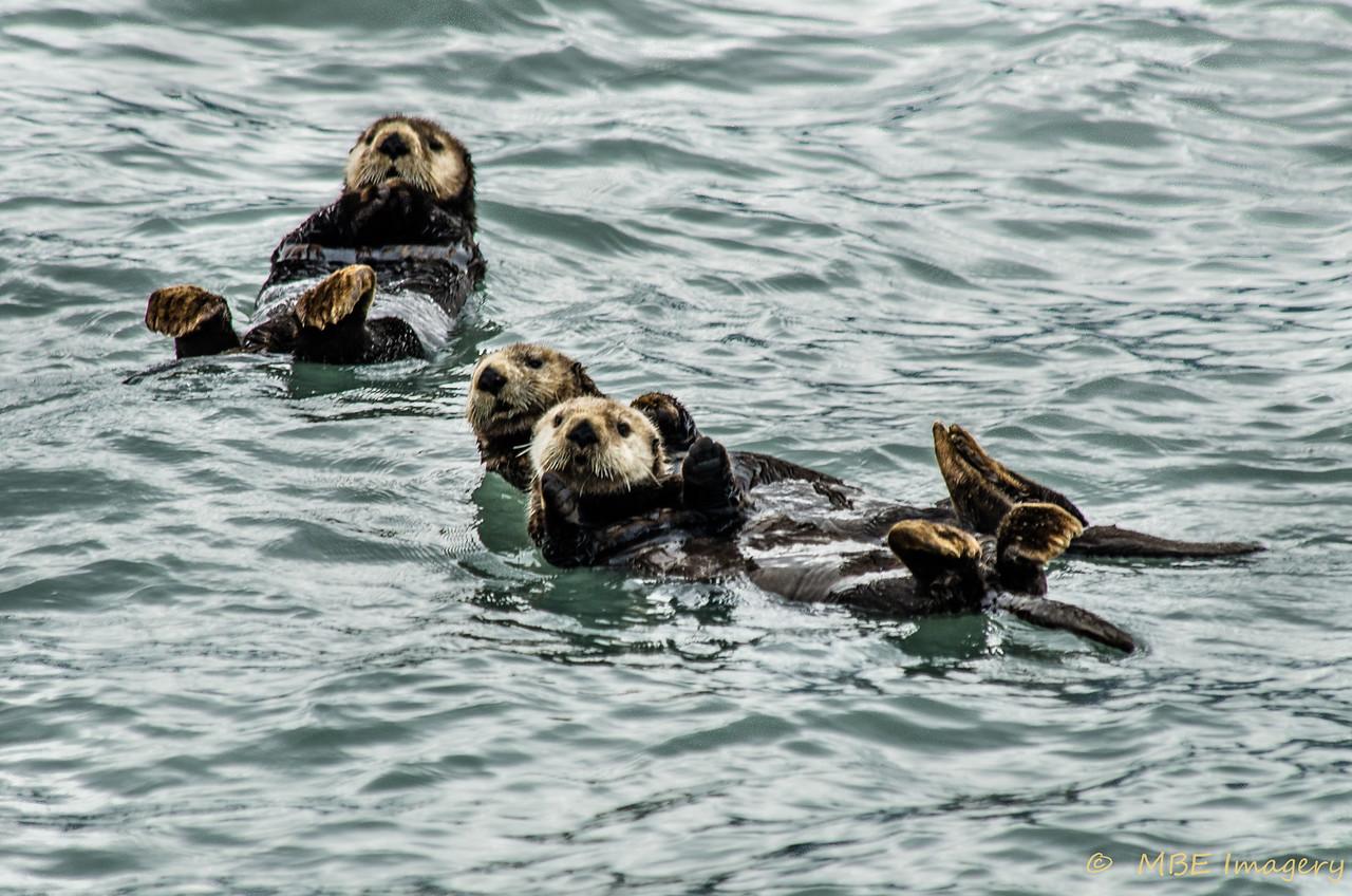 Playful Sea Otters in Kenai Fjord