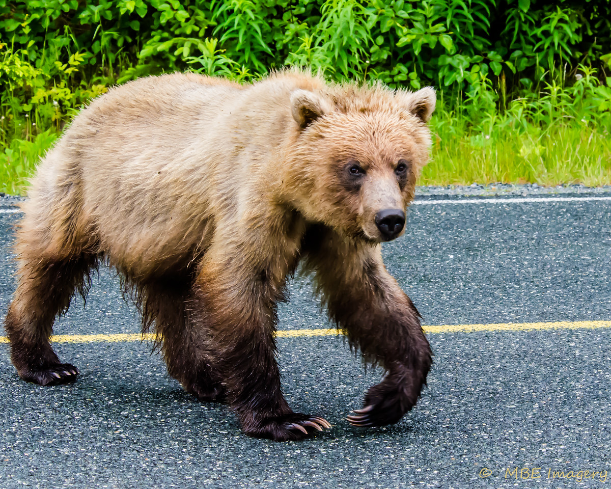 Grizzly Bear on Skagway Road