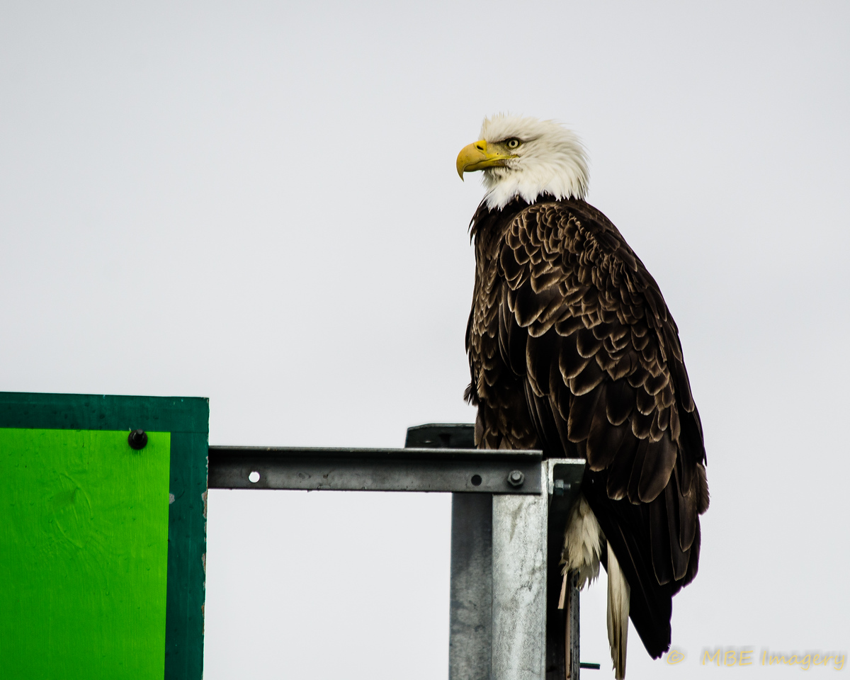 Bald Eagle in Harbor