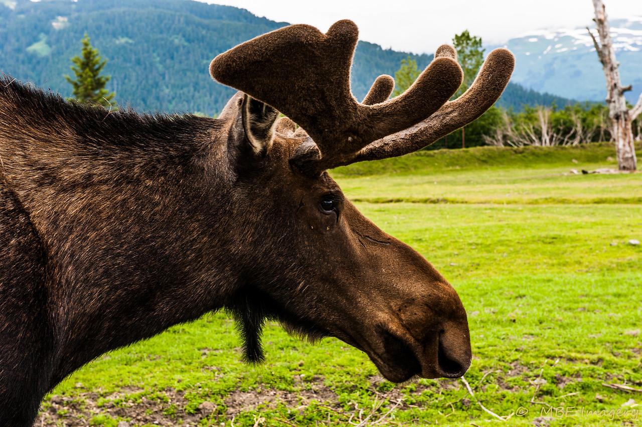 Whittier Moose
