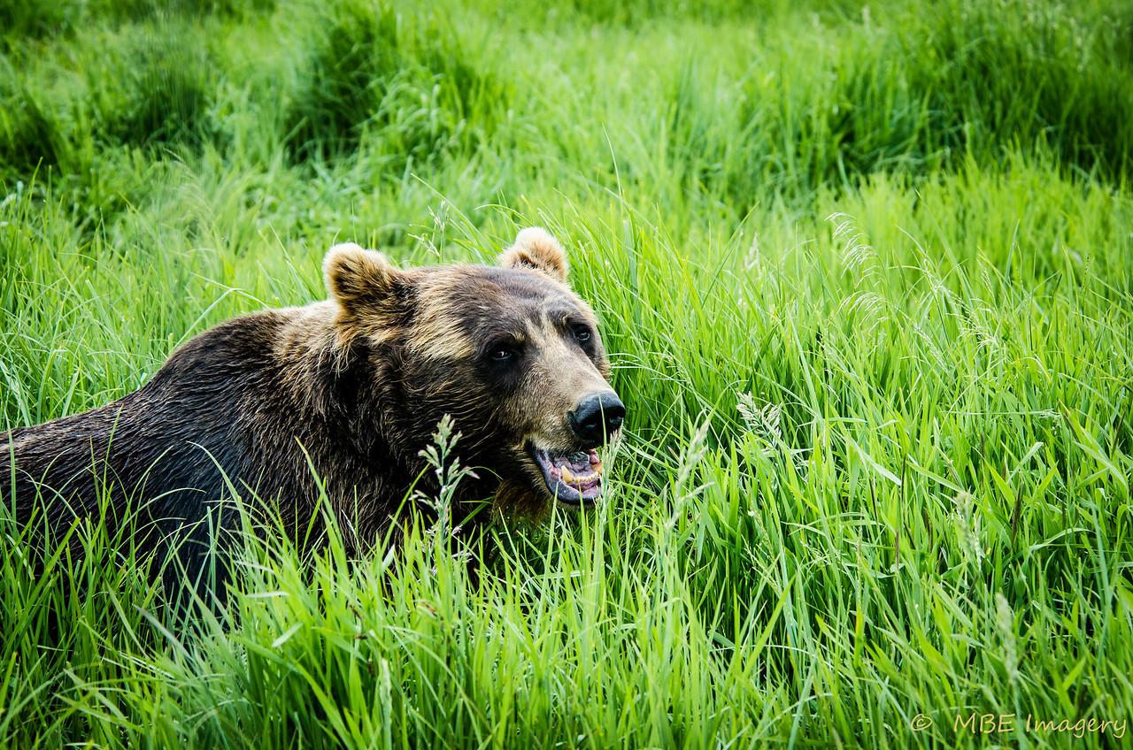 Brown Bear in Whittier