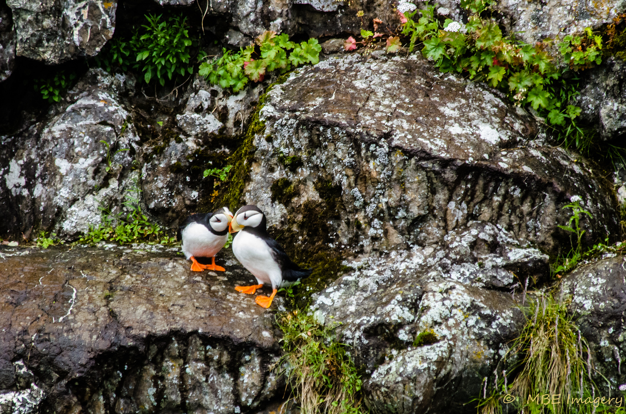 Puffins in Kenai Fjord