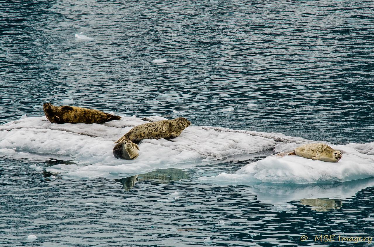 Sea Lions on Iceberg