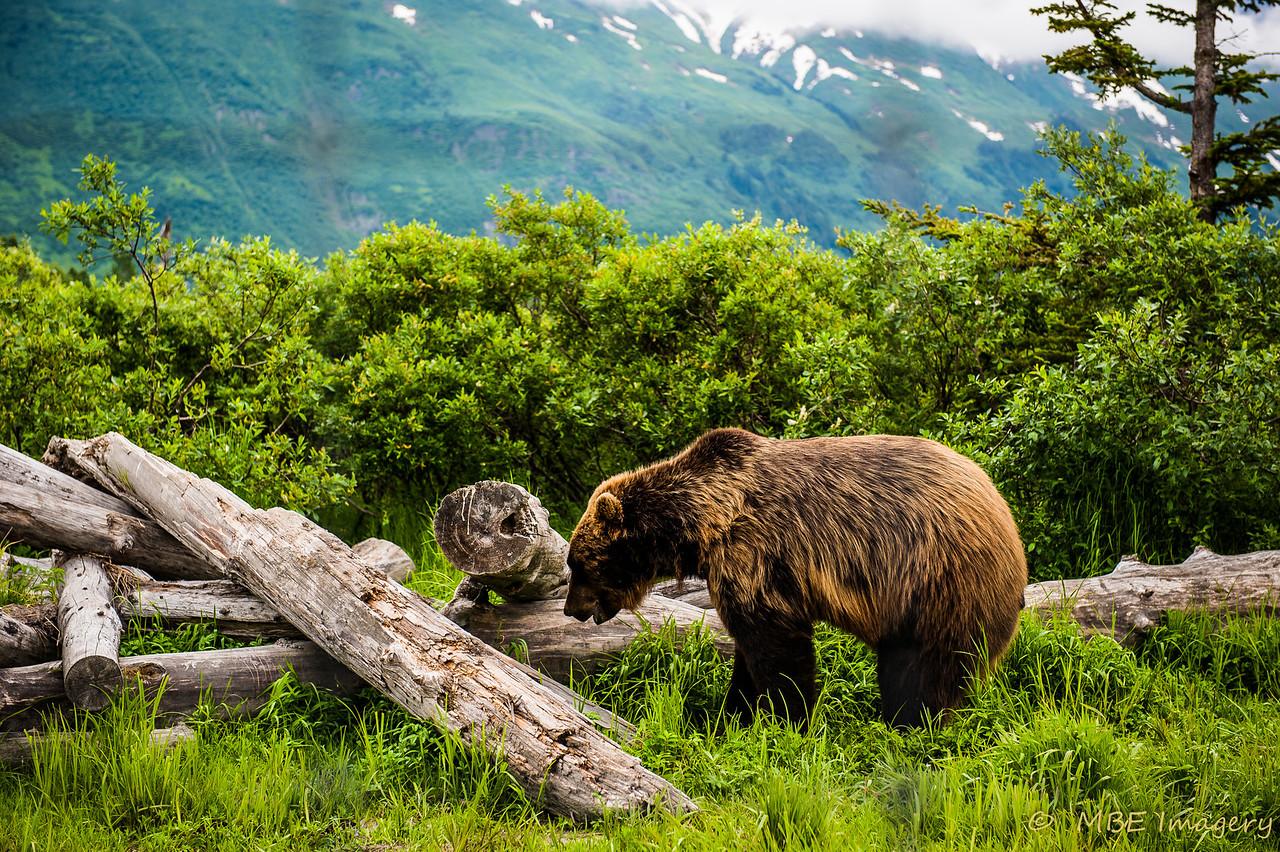 Brown Bear in Kenai Forest