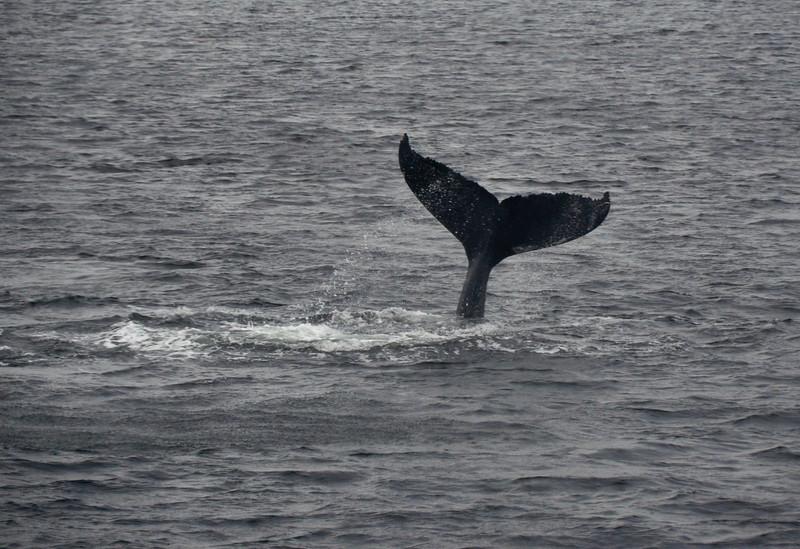 A splendid tail fin breach