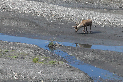 Denali, Alaska A caribou drinking from a small stream in Denali National Park and Preserve.