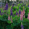 Mixed lupines
