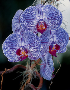 Orchids, Vancouver Island, Canada, 2003