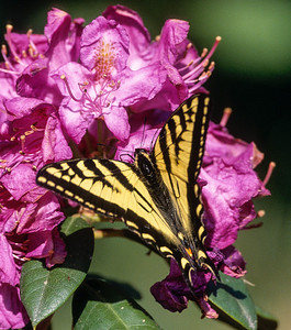 Swallowtail, Vancouver Island, Canada, 2003