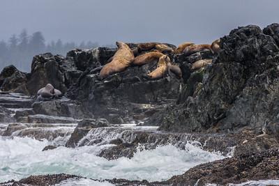 Stellar's Sea Lions
