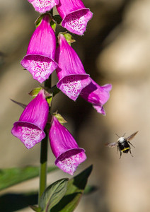 Foxglove with Bee